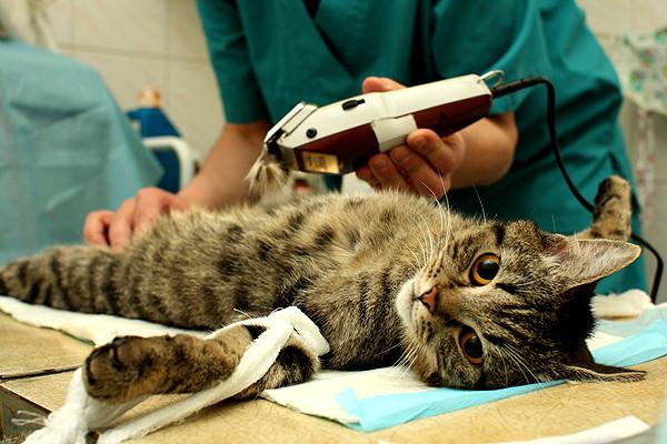 Кот лежит на операционном столе