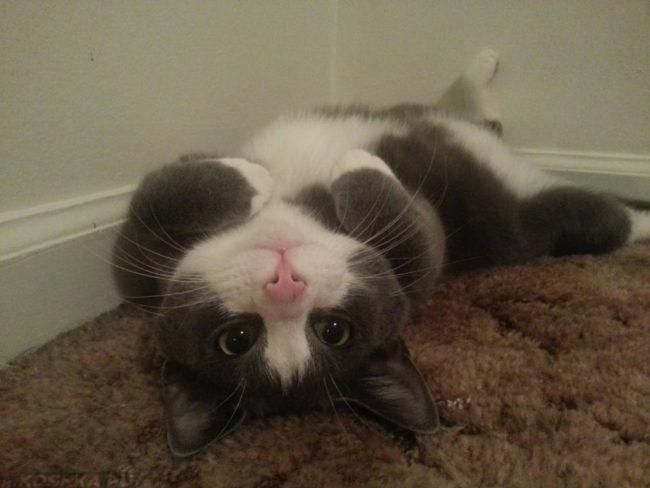 Кот лежит на спине с раскинутыми задними лапами