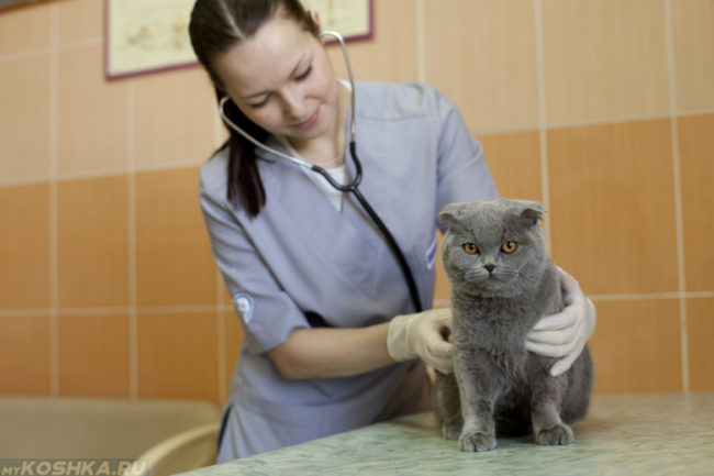Серый кот на столе у ветеринара прослушивается стетоскопом