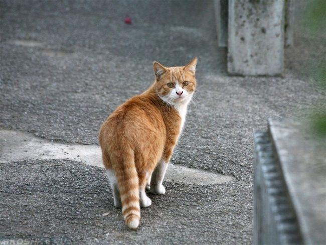 Рыжий с белым кот гуляет на улице