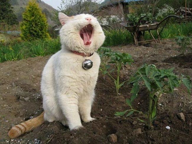 Белый кот ест землю с огорода