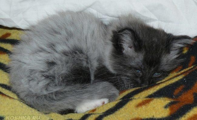 Серый пушистый котенок на покрывале