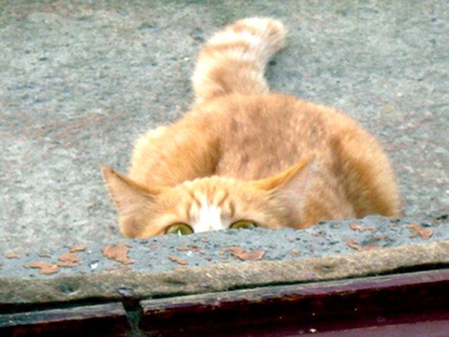 Рыжий кот с зелеными глазами спрятавшийся для охоты