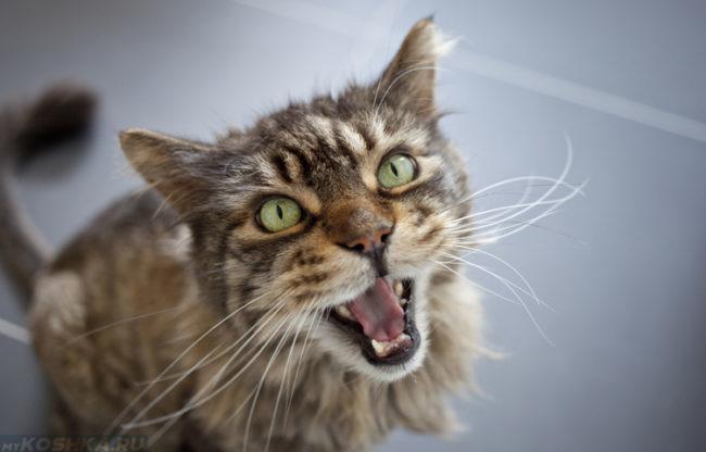 Пушистый кот с зелёными глазами и белыми усами орёт