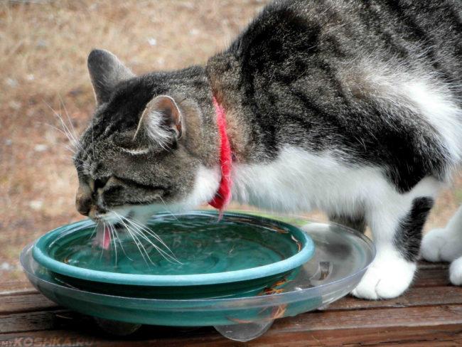 Кошка с красным ошейником и миска с водой