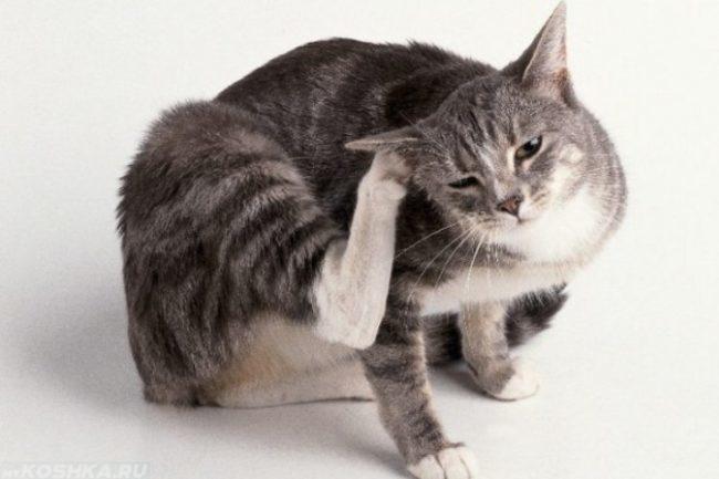 Серая полосатая кошка расчесывающая правое ухо на белом фоне