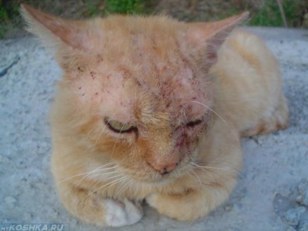 Рыжий кот с чесоткой на голове