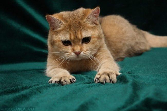 Рыжий кот выпустил свои когти на зеленом одеяле