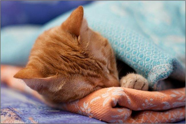 Рыжий котик спит под одеялом
