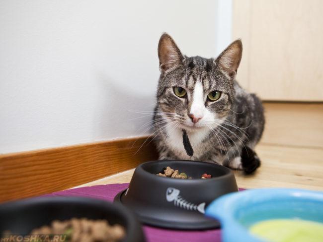 Серый полосатый кот сидит на полу рядом с миской с сухим кормом