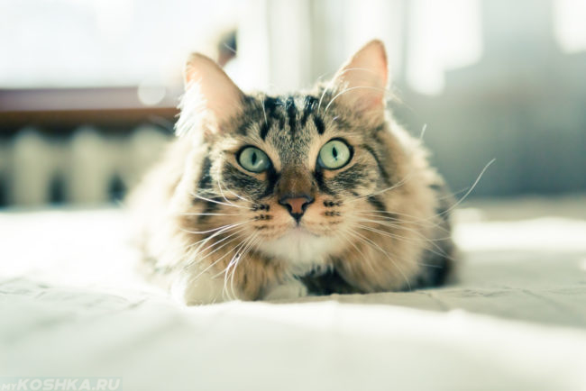 Пушистый коричневый полосатый кот лежит на белом одеяле