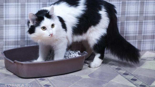 Черный с белым кот и коричневый лоток с наполнителем