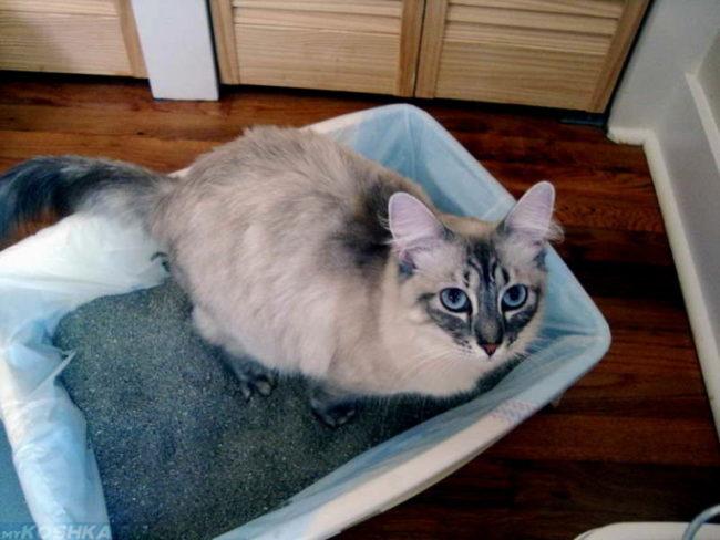 Серый кот с голубыми глазами в лотке с наполнителем