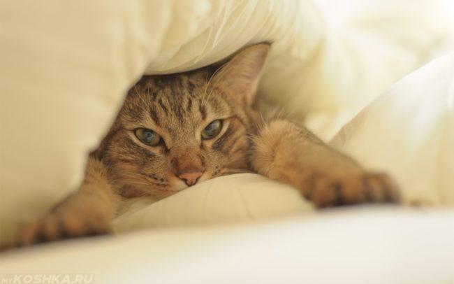 Рыжий полосатый кот на белой постеле