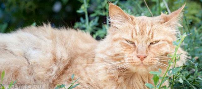 Рыжий кот в возрасте