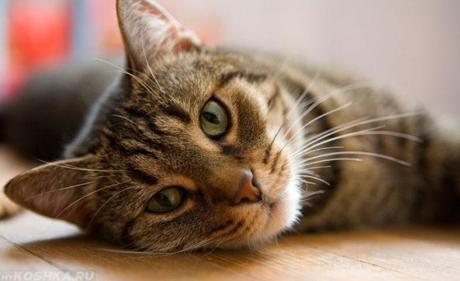 Кошка с зелеными глазами вяло лежит на полу