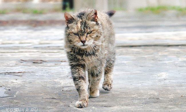 Уличный кот в возрасте шагает по улице
