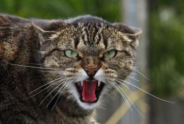 Злая кошка мяукает открыв рот