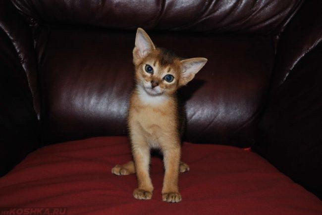 Абиссинский котенок на кресле