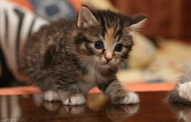 Коричневый пушистый котенок с белыми лапками