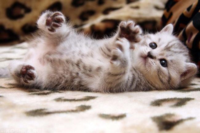 Серый пушистый котенок поднял лапы вверх