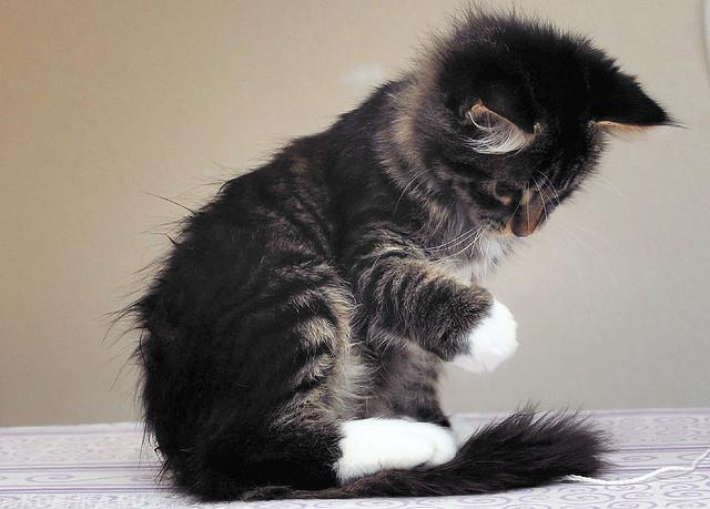Разноцветный котик смотрит на свою лапу