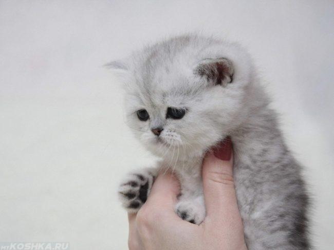 Серый пушистый котенок на руках у женщины