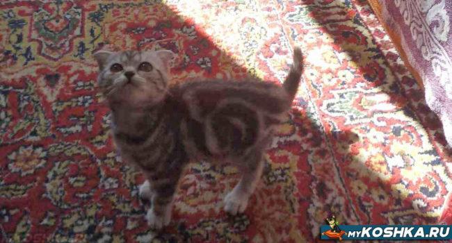 Котёнок шотландской вислоухой кошки окрас вискас
