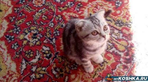 Красивый и ласковый котёнок британской породы окрас вискас