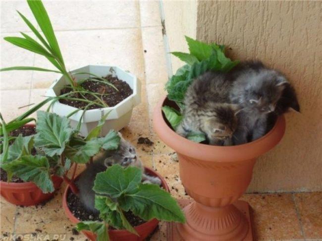 Серые пушистые котята и горшки с цветками
