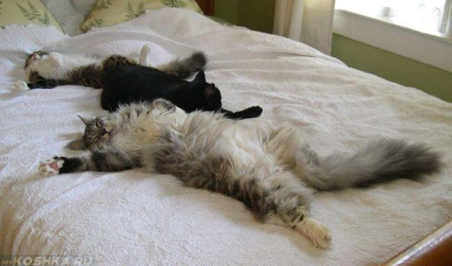 Коты спят на спине и кошка на животе