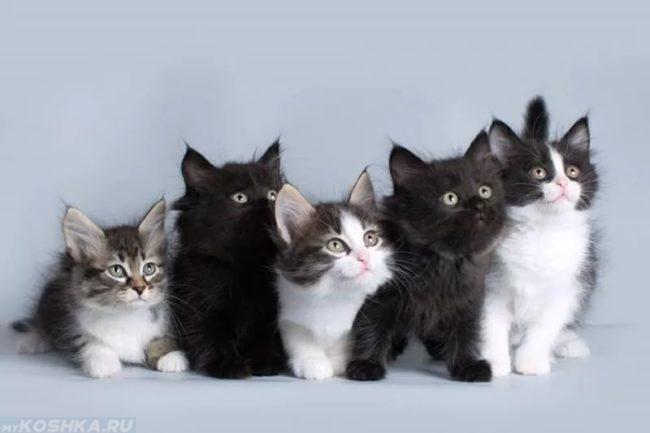 Разноцветные пушистые котята сибирской кошки
