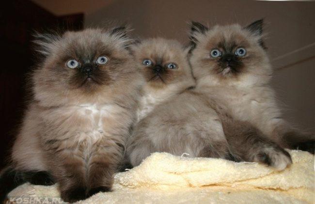 Пушистые котята гималайской кошки с голубыми глазами