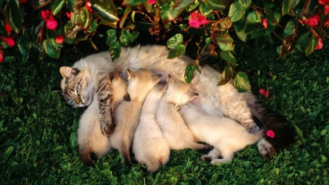 Красивая кошка кормит своих котят