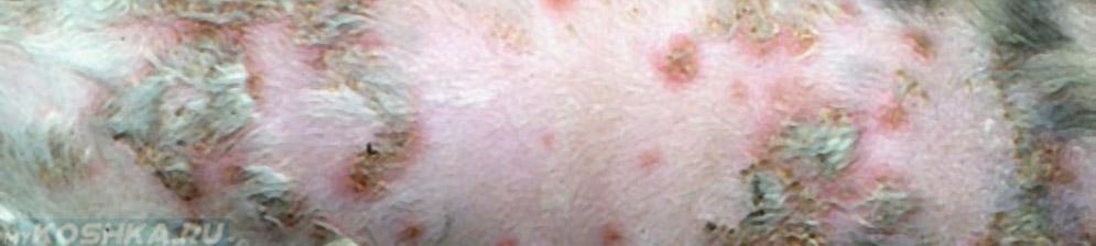Кошка страдающая от кожных заболеваний