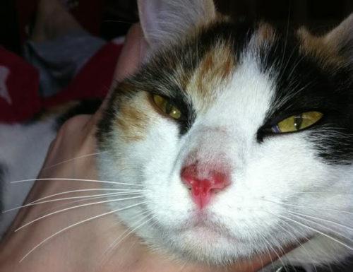 Кровь на носу у кошки
