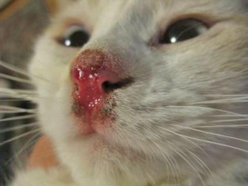 Подбитый нос с кровью у кошки