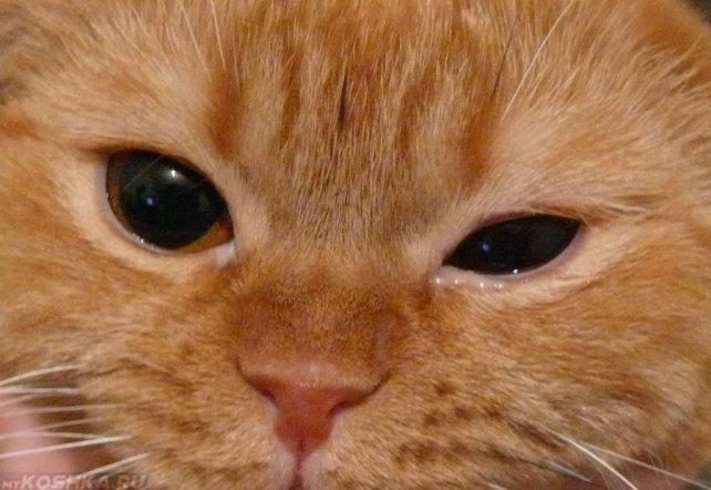 У рыжего кота отёк глаза