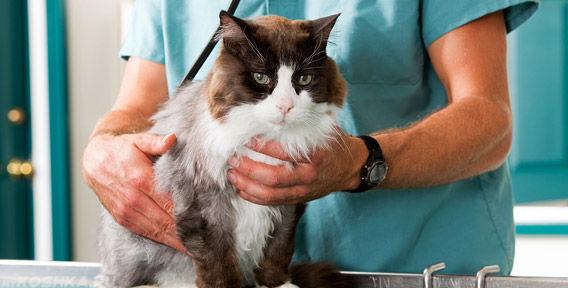 Клиническое обследование кошки ветеринаром
