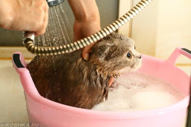 Процедура купания серого пушистого кота в розовом тазу