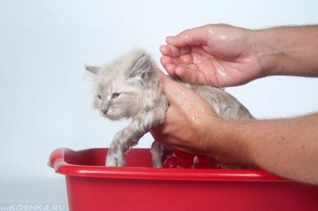 Купание персидского кота в красном тазике
