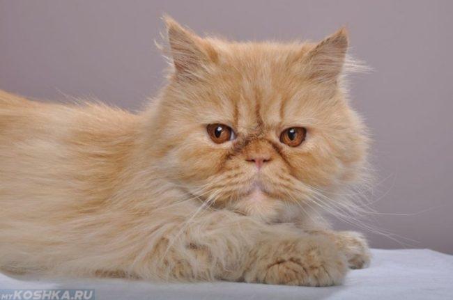 Рыжий пушистый персидский кот