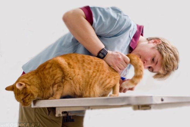 Осмотр рыжего кота на столе у ветеринара