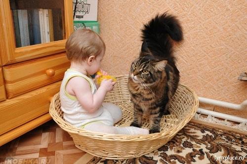 Кошка Мейн-кун и ребёнок в квартире