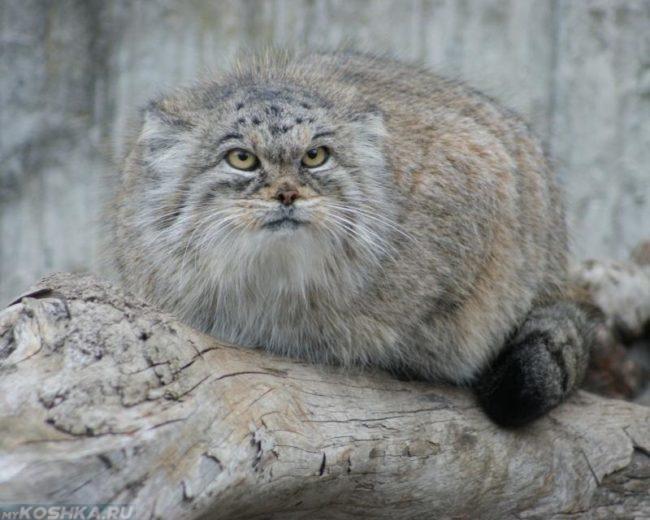 Серый степной кот манул