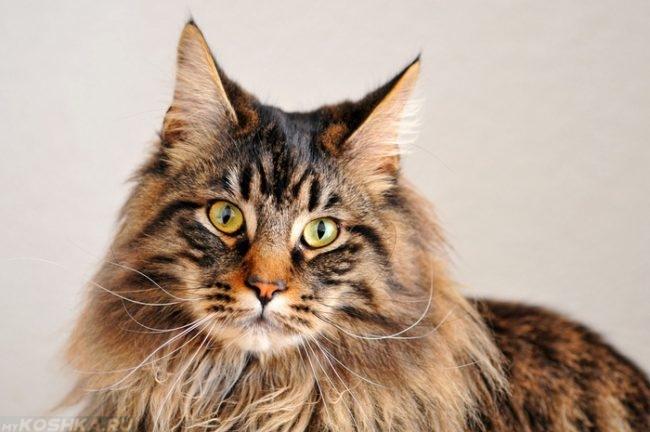 Коричневый длинношерстный кот породы мейн кун