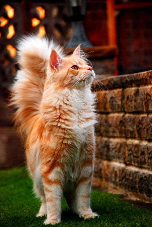 Рыжий кот породы мейн кун стоит рядом со стеной