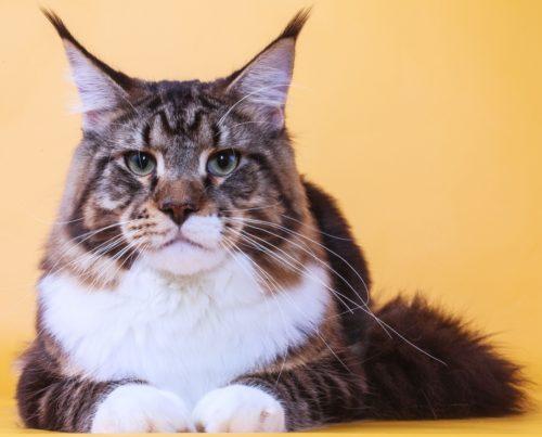 Кот породы мейн кун с белыми лапами лежит