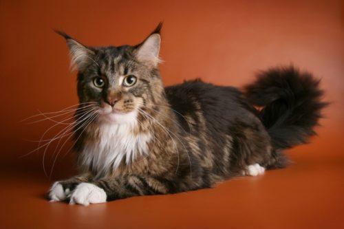 Кот породы мейн кун с заостренными ушами на коричневом фоне