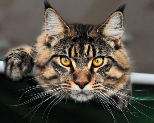 Кот породы мейн кун смотрит вперед